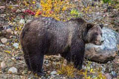 The large brown bear found food in wood. The large brown bear found food in the autumn wood. He is very glad. Jasper national park, Canada Royalty Free Stock Photos