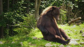 A large brown bear sits on the back and scratches its side with its paw. Funny wild animals stock video footage
