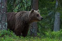 Large Brown bear sniffing Royalty Free Stock Photo