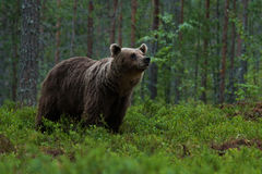 Large Brown bear sniffing in the woods stock images