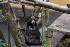 A large brown bear in tropical Bali zoo park, Indonesia. Royalty Free Stock Images