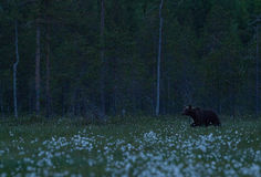 Large Brown bear walking in Finnish taiga Royalty Free Stock Photos