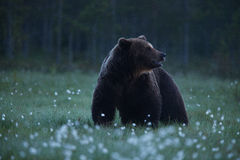 Large Brown bear walking in Finnish taiga Stock Images