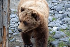 Alaskan Brown Bear Walking Stock Photography