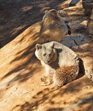 Large brown bears Stock Images
