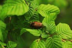 Large brown beetle Royalty Free Stock Image