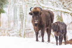 Large brown bisons Wisent family near winter forest with snow. Herd Of European Aurochs Bison, Bison Bonasus. Nature habitat. Sele Royalty Free Stock Photo