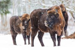 Large brown bisons Wisent family near winter forest with snow. Herd Of European Aurochs Bison, Bison Bonasus. Nature habitat. Sele Stock Photography