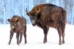Large brown bisons Wisent family near winter forest with snow. Herd Of European Aurochs Bison, Bison Bonasus. Nature habitat. Selective focus royalty free stock images