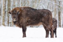 Large brown bisons Wisent family near winter forest with snow. Little bison is hiding behind her mother. Herd Of European Aurochs Royalty Free Stock Image