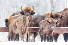 Large brown bisons Wisent group feeding near winter forest with snow. Herd Of European Aurochs Bison, Bison Bonasus. Nature habita Royalty Free Stock Photos