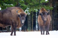 Large brown bisons Wisent group near winter forest with snow. Herd Of European Aurochs Bison, Bison Bonasus. Nature habitat. Selec Stock Images