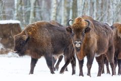 Large brown bisons Wisent group near winter forest with snow. Herd Of European Aurochs Bison, Bison Bonasus. Nature habitat. Selec Royalty Free Stock Photography