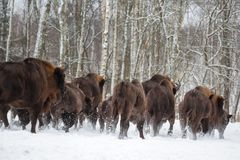 Large brown bisons Wisent running in winter forest with snow. Herd Of European Aurochs Bison, Bison Bonasus. Nature habitat. Selec. Tive focus Stock Photography