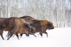 Large brown bisons Wisent running in winter forest with snow. Herd Of European Aurochs Bison, Bison Bonasus. Nature habitat. Selec Stock Photography