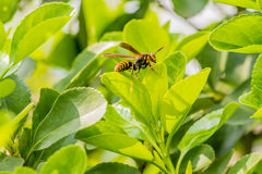 Large brown and black wasp on green plant Stock Images