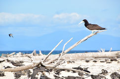 Large Brown Booby bird resting on a dead tree branch at Michaelmas Cay, Great Barrier Reef. Michaelmas Cay with beautiful fine white sand and turquoise blue Royalty Free Stock Photography