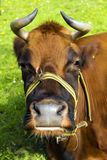 Large brown bull with horns Stock Images