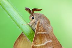 Large brown butterfly macrothylacia rubi sits on a green stalk o. F grass.  27 images stack, modified by PS Royalty Free Stock Images