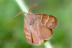 Large brown butterfly macrothylacia rubi sits on a green stalk o. F grass.  32 images stack, modified by CombineZP Royalty Free Stock Photos