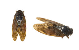 Large brown cicada in a white background Royalty Free Stock Photography