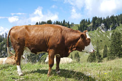 Large Brown Cow Stock Images