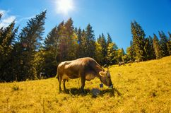 Large brown cow eats grass on alpine meadow with high fir trees Stock Photos