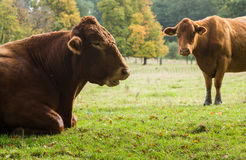 Large brown cow resting in meadow Royalty Free Stock Photography