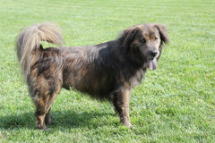 Large brown dog with long hair Stock Photos