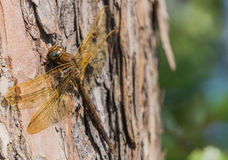 Large brown dragonfly Stock Photography