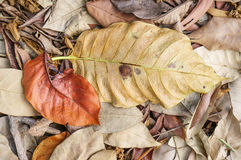 Large brown dried falling leaves on the ground Royalty Free Stock Image