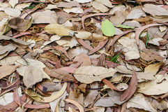 Large brown dried falling leaves on the ground Stock Photos