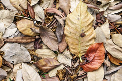 Large brown dried falling leaves on the ground Royalty Free Stock Photos