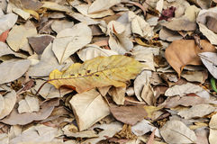Large brown dried falling leaves on the ground Royalty Free Stock Photo
