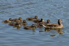 A large brown duck and small ducklings swim across the water. A large brown duck and a group of small ducklings swim along the water of the reservoir Royalty Free Stock Images