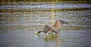 Pelican bird  fishing Royalty Free Stock Photo