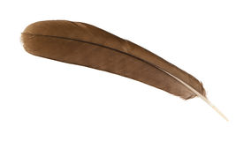 Large brown female peacock feather closeup Stock Image