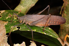 Large brown grasshopper on a leaf. Stock Images
