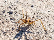A large brown grasshopper stands on  the ground in a protective pose with its paws raised, on the Golan Heights in Israel. Stock Photo