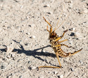 A large brown grasshopper stands on  the ground in a protective pose with its paws raised, on the Golan Heights in Israel. Stock Images