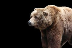 Grizzly bear on a black background. This large brown grizzly bear stands out on this black background royalty free stock images