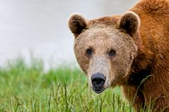 Large brown grizzly bear up close in tall grass royalty free stock photos
