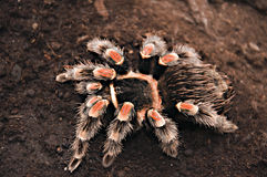 Tarantula. Large brown hairy tarantula seen from above stock photos
