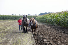 Large brown horses and plow in the netherlands in summer Royalty Free Stock Photo