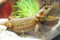 A large brown lizard stock image