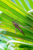 A large brown locust rests on the leaves. Of the palm Royalty Free Stock Photo