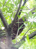 Large brown long natural wild bee hive on a tree with green leaves royalty free stock image