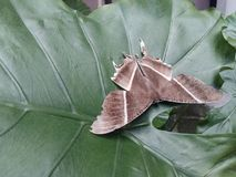 Large brown moth lyssa zampa resting. Large brown moth lyssa zampa or uranid moth resting on elephant ear colocasia in morning royalty free stock image