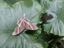 Large brown moth lyssa zampa resting. Large brown moth lyssa zampa or uranid moth resting on elephant ear colocasia in morning stock images