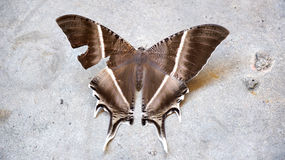 Large brown moth. (Lyssa zampa) or Uranid Moth, Malaysia stock photography